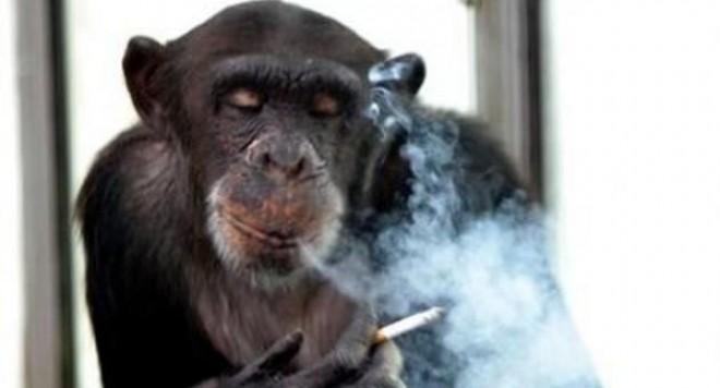 Маймуна от руски зоопарк се пропи