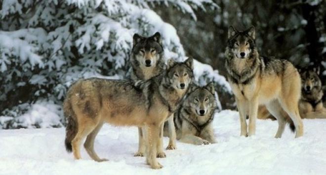 Глутница вълци помогнаха на жена да роди в преспите