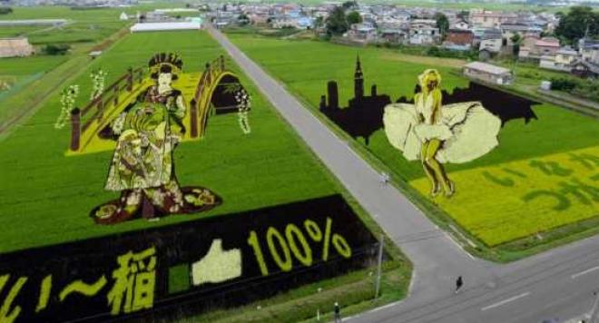 Японски картини в оризови поля (СНИМКИ, ВИДЕО)